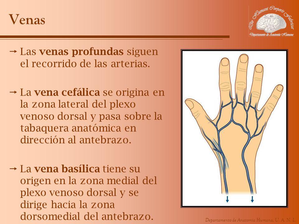 Departamento de Anatomía Humana, U. A. N. L. Venas Las venas profundas siguen el recorrido de las arterias. La vena cefálica se origina en la zona lat