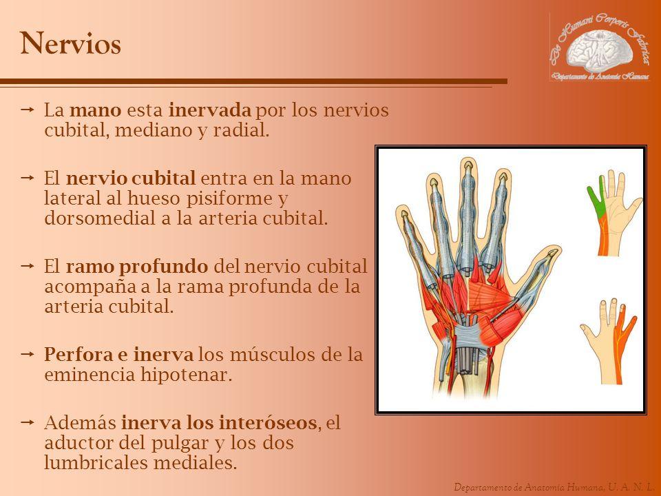 Departamento de Anatomía Humana, U. A. N. L. Nervios La mano esta inervada por los nervios cubital, mediano y radial. El nervio cubital entra en la ma