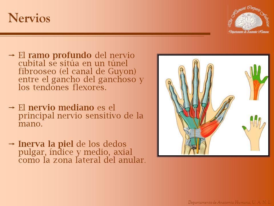 Departamento de Anatomía Humana, U. A. N. L. Nervios El ramo profundo del nervio cubital se sitúa en un túnel fibrooseo (el canal de Guyon) entre el g