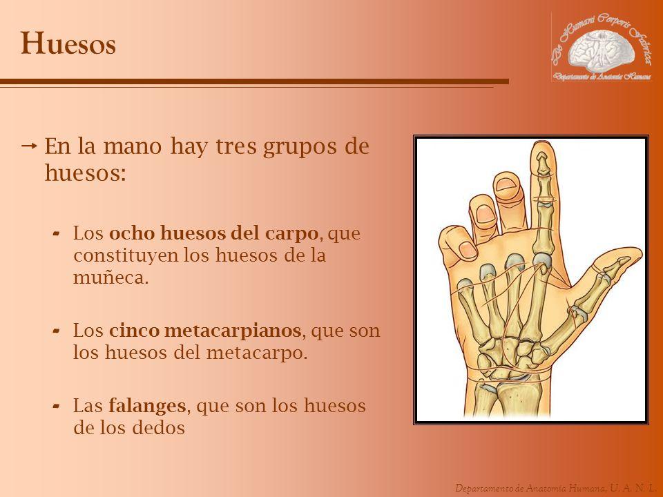 Departamento de Anatomía Humana, U. A. N. L. Huesos En la mano hay tres grupos de huesos: - Los ocho huesos del carpo, que constituyen los huesos de l