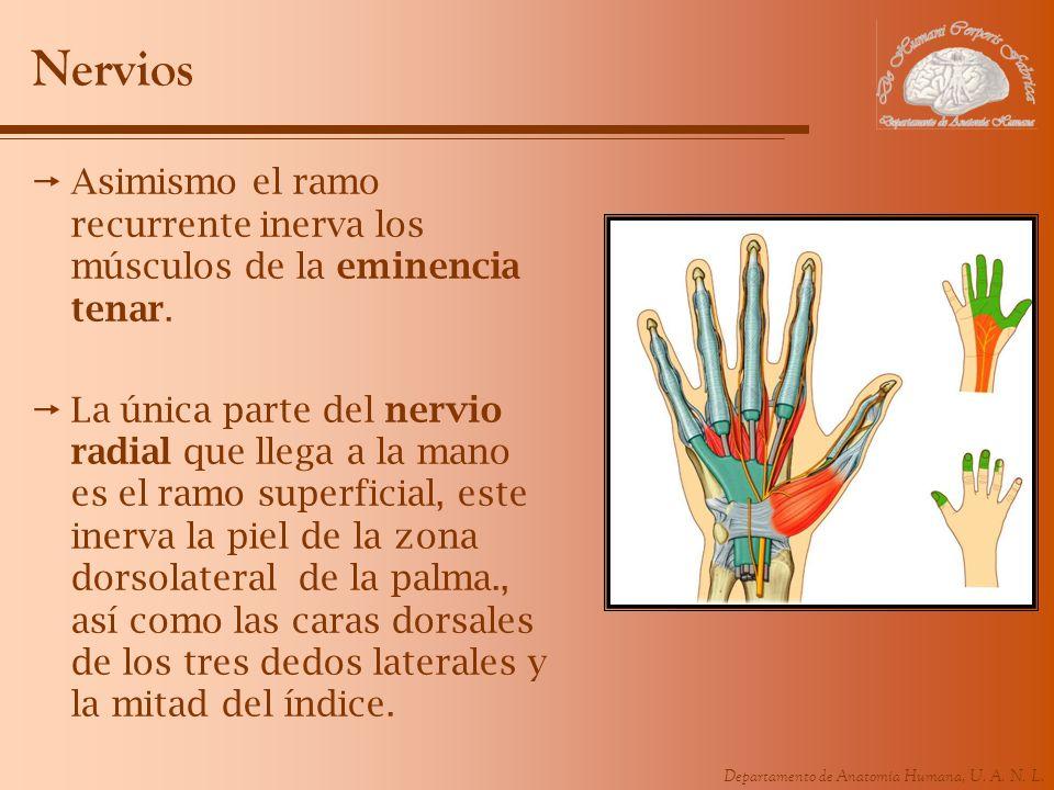 Departamento de Anatomía Humana, U. A. N. L. Nervios Asimismo el ramo recurrente inerva los músculos de la eminencia tenar. La única parte del nervio