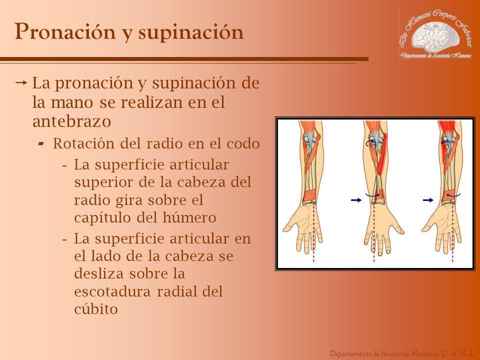 Departamento de Anatomía Humana, U. A. N. L. Pronación y supinación La pronación y supinación de la mano se realizan en el antebrazo - Rotación del ra