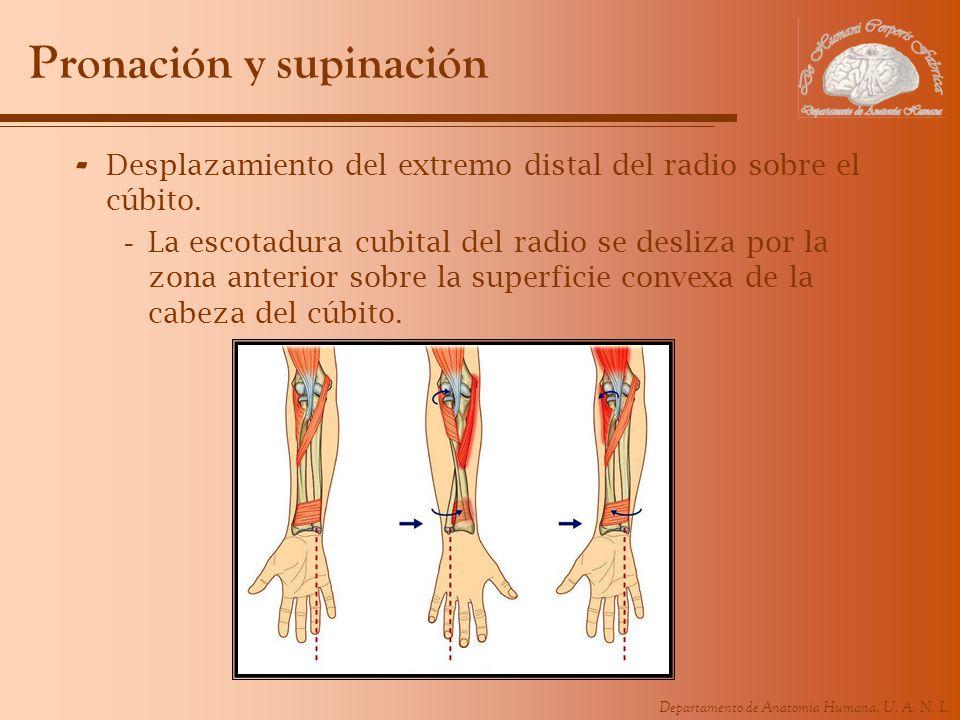 Departamento de Anatomía Humana, U. A. N. L. Pronación y supinación - Desplazamiento del extremo distal del radio sobre el cúbito. -La escotadura cubi