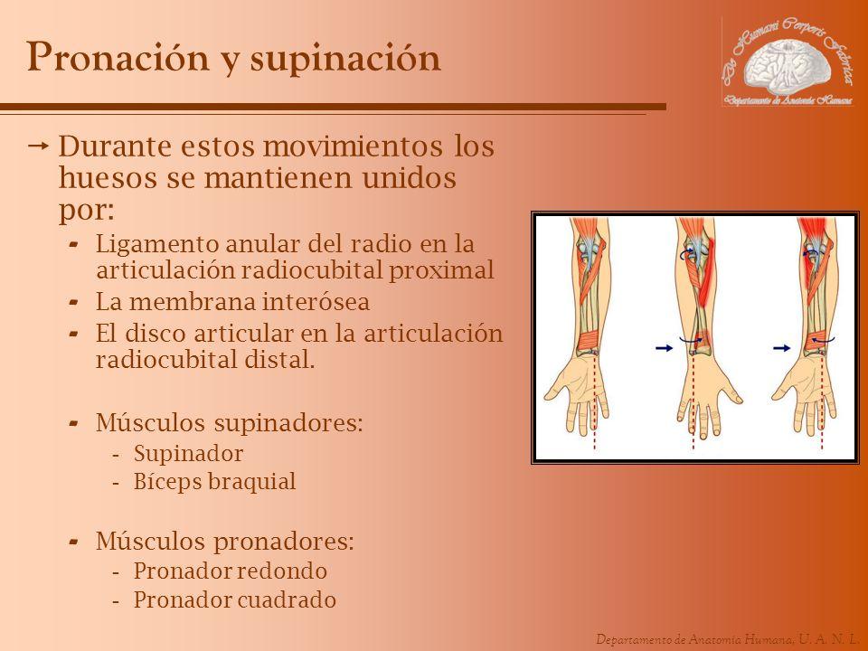 Departamento de Anatomía Humana, U. A. N. L. Pronación y supinación Durante estos movimientos los huesos se mantienen unidos por: - Ligamento anular d