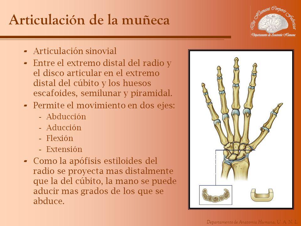 Departamento de Anatomía Humana, U. A. N. L. Articulación de la muñeca - Articulación sinovial - Entre el extremo distal del radio y el disco articula