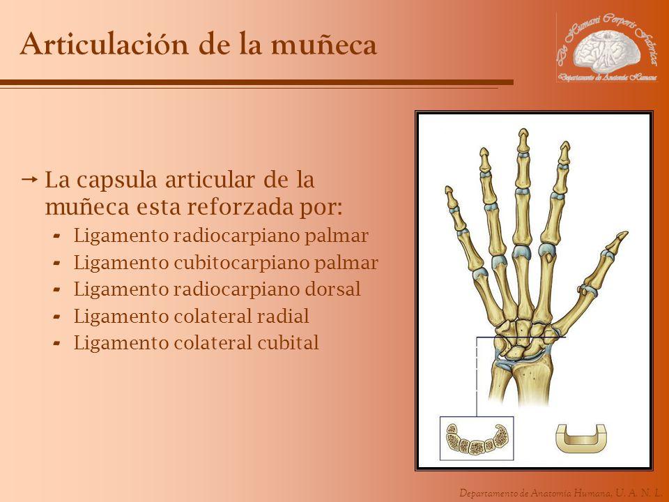 Departamento de Anatomía Humana, U. A. N. L. Articulación de la muñeca La capsula articular de la muñeca esta reforzada por: - Ligamento radiocarpiano