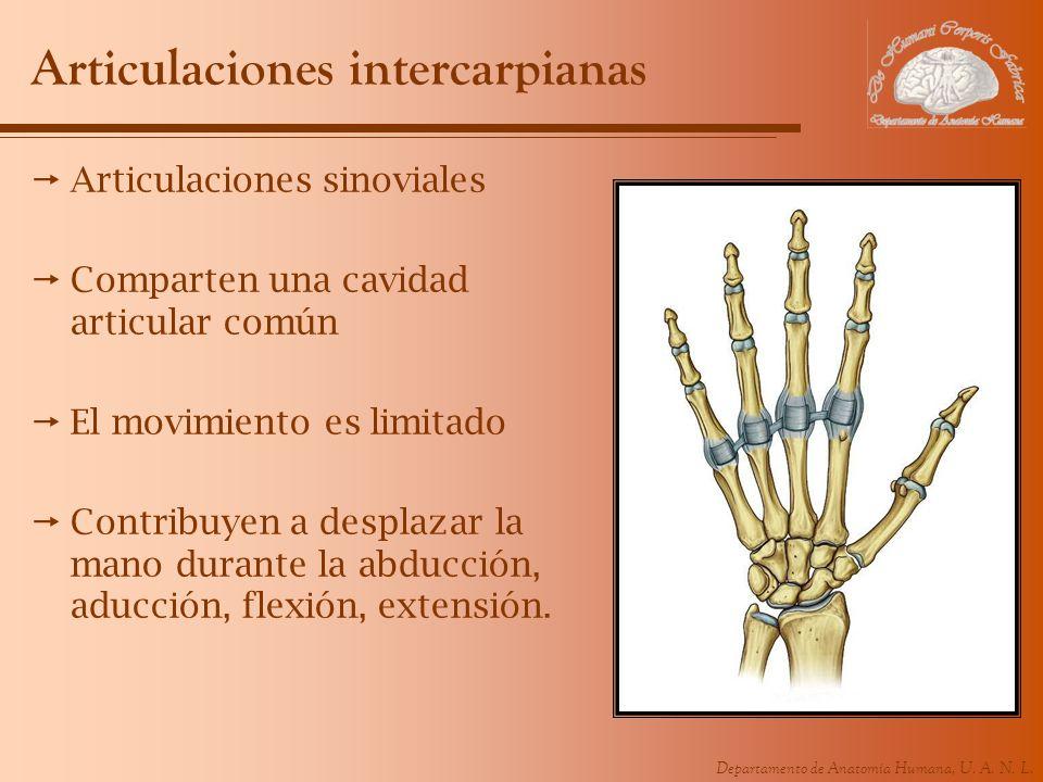 Departamento de Anatomía Humana, U. A. N. L. Articulaciones intercarpianas Articulaciones sinoviales Comparten una cavidad articular común El movimien