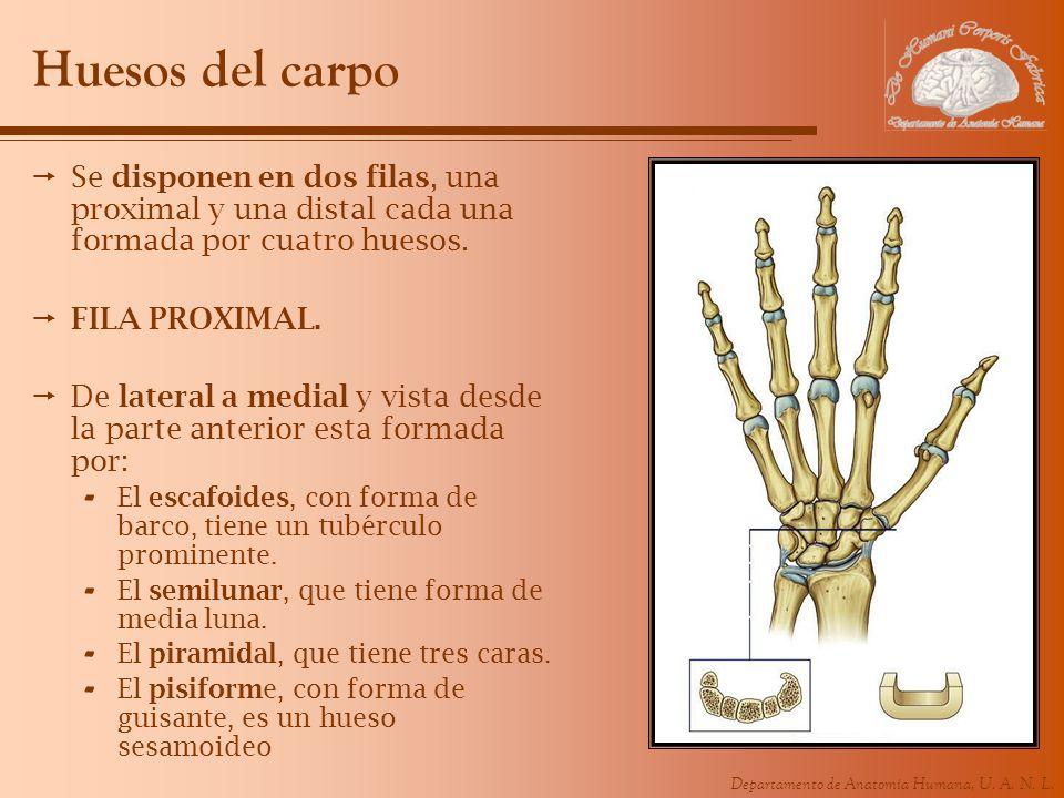 Departamento de Anatomía Humana, U. A. N. L. Huesos del carpo Se disponen en dos filas, una proximal y una distal cada una formada por cuatro huesos.