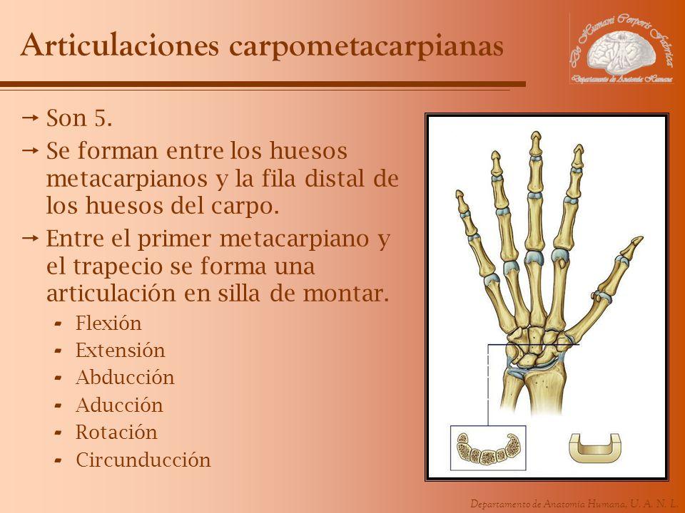 Departamento de Anatomía Humana, U. A. N. L. Articulaciones carpometacarpianas Son 5. Se forman entre los huesos metacarpianos y la fila distal de los