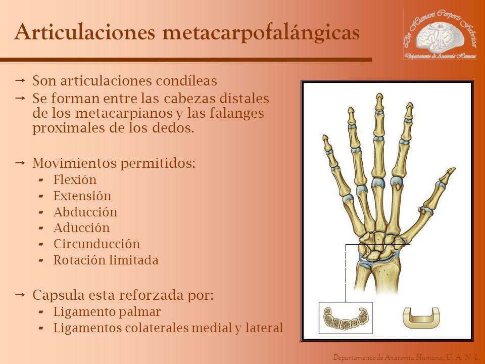 Departamento de Anatomía Humana, U. A. N. L. Articulaciones metacarpofalángicas Son articulaciones condíleas Se forman entre las cabezas distales de l