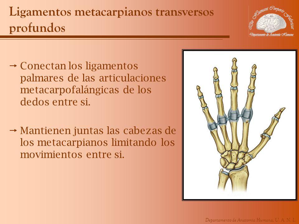 Departamento de Anatomía Humana, U. A. N. L. Ligamentos metacarpianos transversos profundos Conectan los ligamentos palmares de las articulaciones met