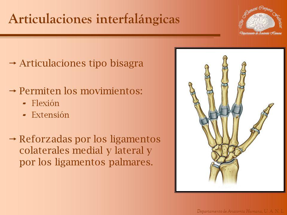 Departamento de Anatomía Humana, U. A. N. L. Articulaciones interfalángicas Articulaciones tipo bisagra Permiten los movimientos: - Flexión - Extensió