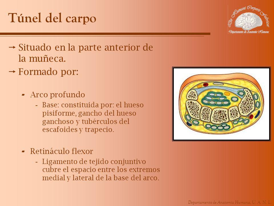 Departamento de Anatomía Humana, U. A. N. L. Túnel del carpo Situado en la parte anterior de la muñeca. Formado por: - Arco profundo -Base: constituid