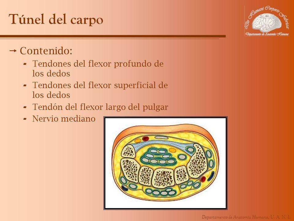 Departamento de Anatomía Humana, U. A. N. L. Túnel del carpo Contenido: - Tendones del flexor profundo de los dedos - Tendones del flexor superficial