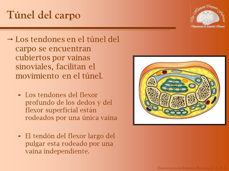 Departamento de Anatomía Humana, U. A. N. L. Túnel del carpo Los tendones en el túnel del carpo se encuentran cubiertos por vainas sinoviales, facilit