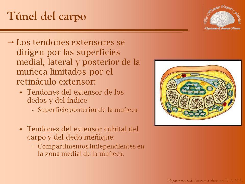 Departamento de Anatomía Humana, U. A. N. L. Túnel del carpo Los tendones extensores se dirigen por las superficies medial, lateral y posterior de la