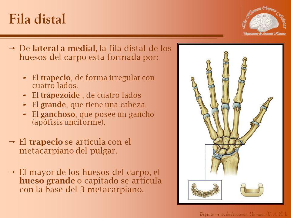 Departamento de Anatomía Humana, U. A. N. L. Fila distal De lateral a medial, la fila distal de los huesos del carpo esta formada por: - El trapecio,