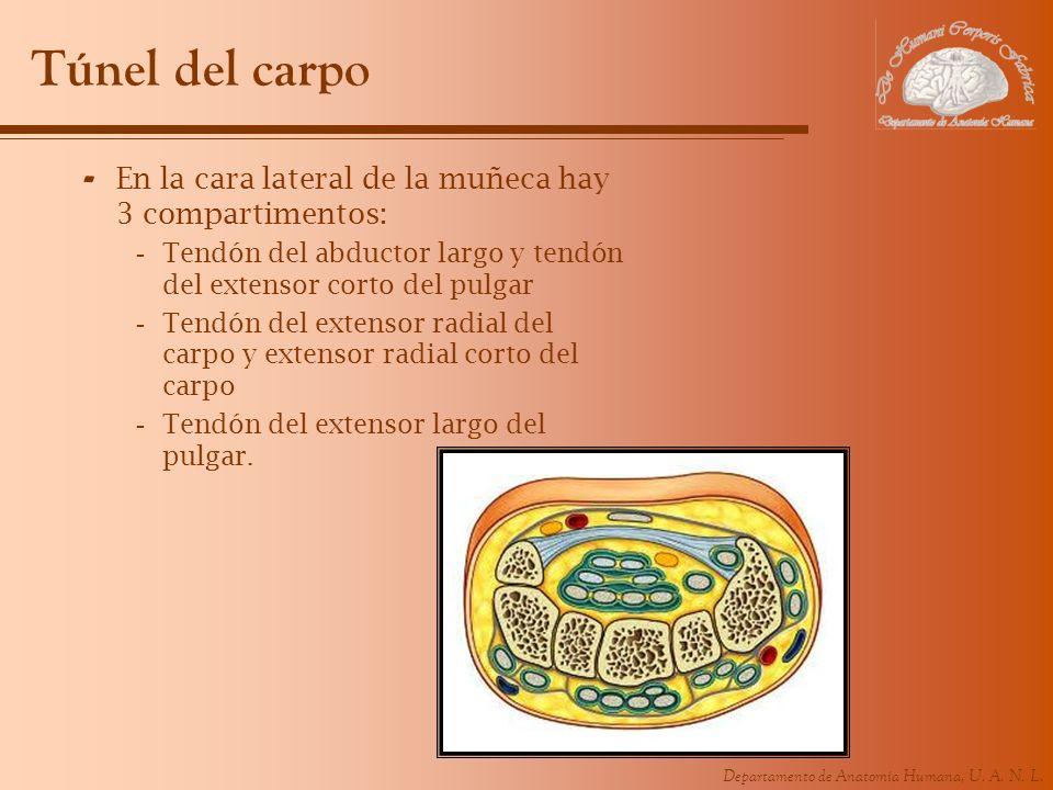 Departamento de Anatomía Humana, U. A. N. L. Túnel del carpo - En la cara lateral de la muñeca hay 3 compartimentos: -Tendón del abductor largo y tend