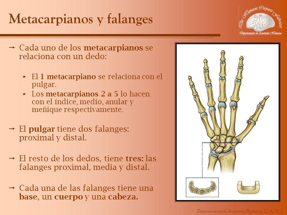 Departamento de Anatomía Humana, U. A. N. L. Metacarpianos y falanges Cada uno de los metacarpianos se relaciona con un dedo: - El 1 metacarpiano se r