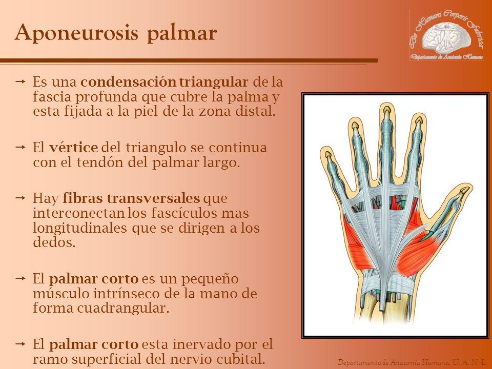 Departamento de Anatomía Humana, U. A. N. L. Aponeurosis palmar Es una condensación triangular de la fascia profunda que cubre la palma y esta fijada