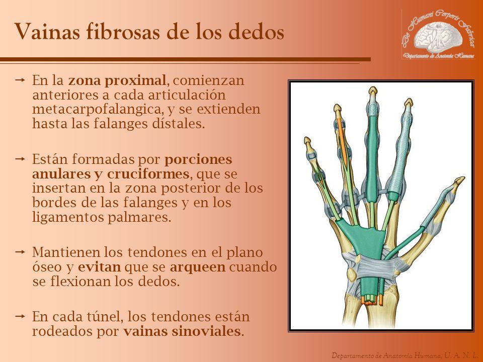 Departamento de Anatomía Humana, U. A. N. L. Vainas fibrosas de los dedos En la zona proximal, comienzan anteriores a cada articulación metacarpofalan