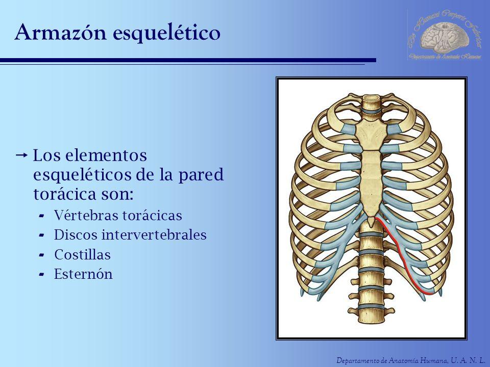 Departamento de Anatomía Humana, U. A. N. L. Armazón esquelético Los elementos esqueléticos de la pared torácica son: - Vértebras torácicas - Discos i