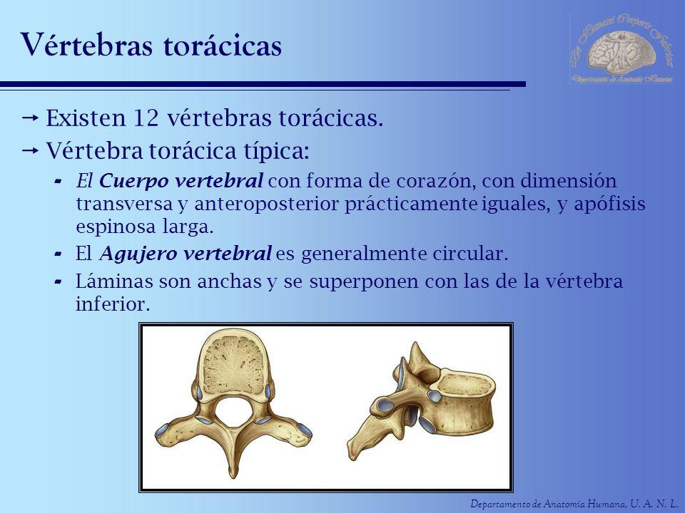 Departamento de Anatomía Humana, U. A. N. L. Vértebras torácicas Existen 12 vértebras torácicas. Vértebra torácica típica: - El Cuerpo vertebral con f