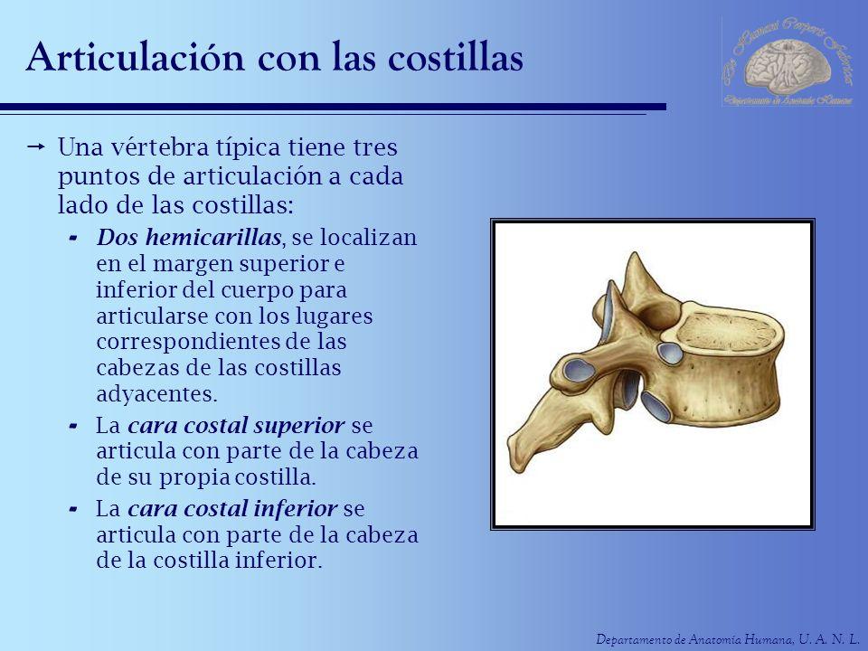 Departamento de Anatomía Humana, U. A. N. L. Articulación con las costillas Una vértebra típica tiene tres puntos de articulación a cada lado de las c