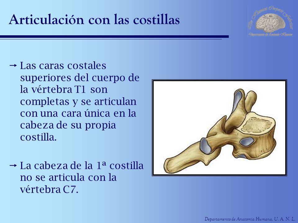 Departamento de Anatomía Humana, U. A. N. L. Articulación con las costillas Las caras costales superiores del cuerpo de la vértebra T1 son completas y