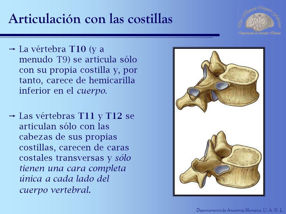 Departamento de Anatomía Humana, U. A. N. L. Articulación con las costillas La vértebra T10 (y a menudo T9) se articula sólo con su propia costilla y,