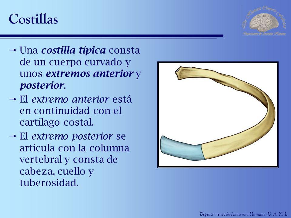 Departamento de Anatomía Humana, U. A. N. L. Costillas Una costilla típica consta de un cuerpo curvado y unos extremos anterior y posterior. El extrem