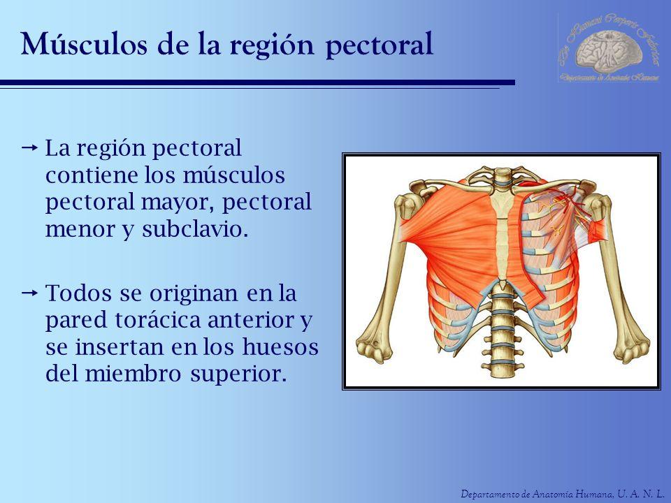 Departamento de Anatomía Humana, U. A. N. L. Músculos de la región pectoral La región pectoral contiene los músculos pectoral mayor, pectoral menor y