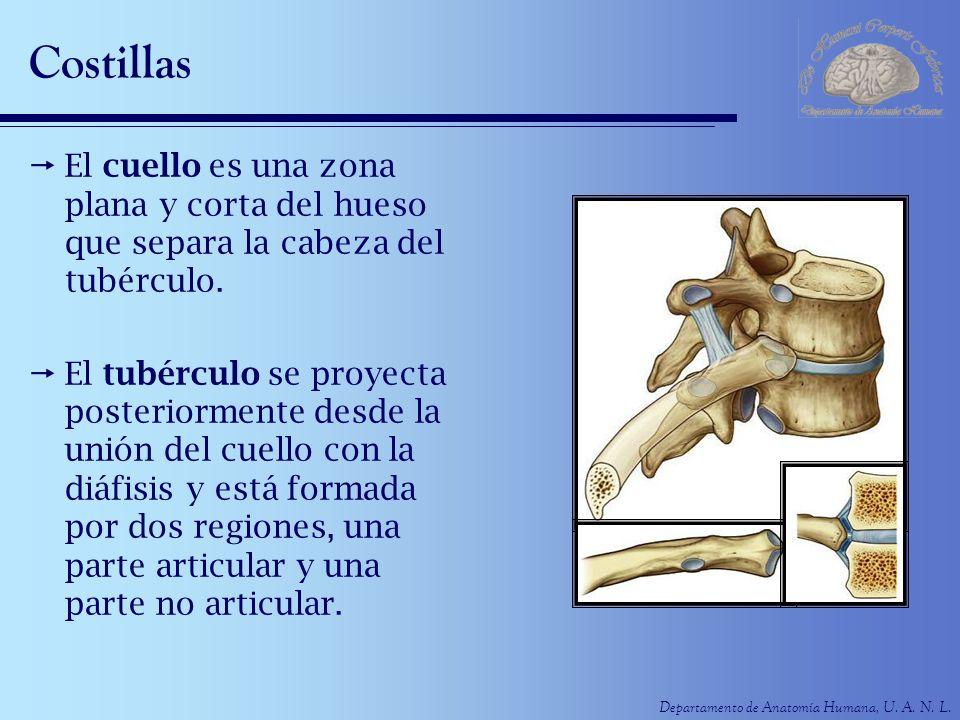 Departamento de Anatomía Humana, U. A. N. L. Costillas El cuello es una zona plana y corta del hueso que separa la cabeza del tubérculo. El tubérculo