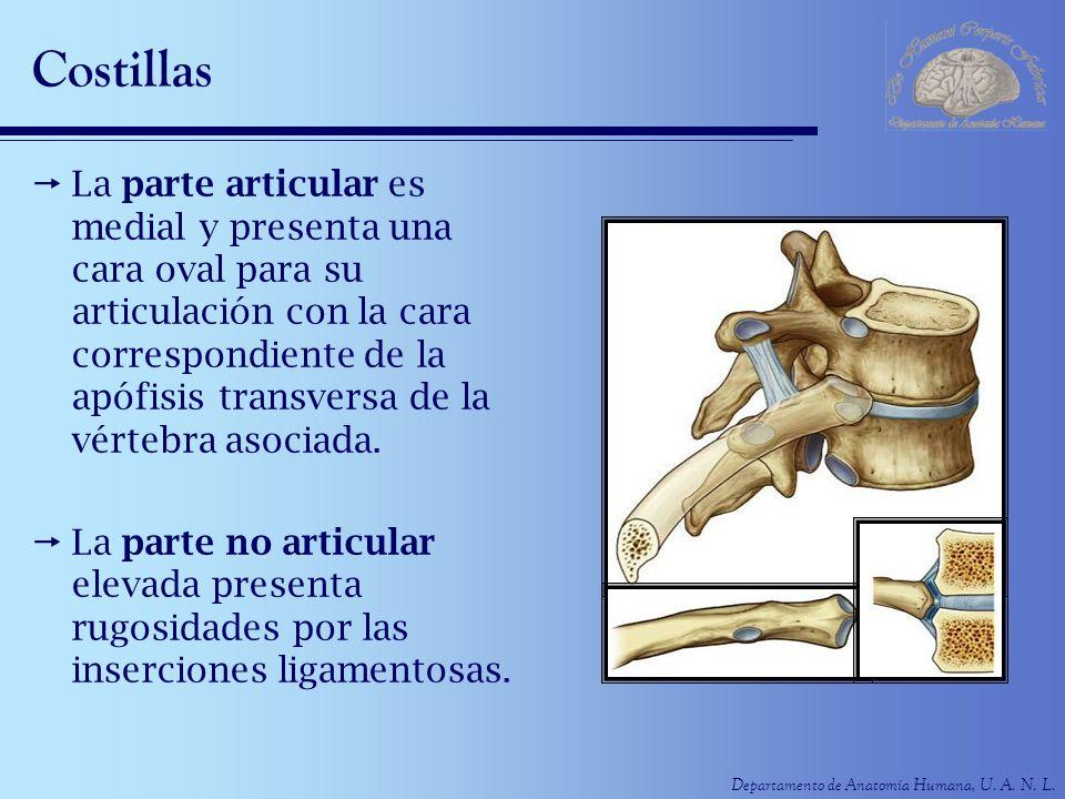 Departamento de Anatomía Humana, U. A. N. L. Costillas La parte articular es medial y presenta una cara oval para su articulación con la cara correspo