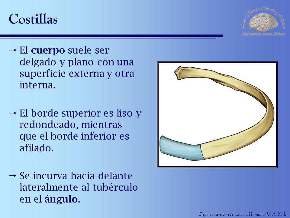 Departamento de Anatomía Humana, U. A. N. L. Costillas El cuerpo suele ser delgado y plano con una superficie externa y otra interna. El borde superio
