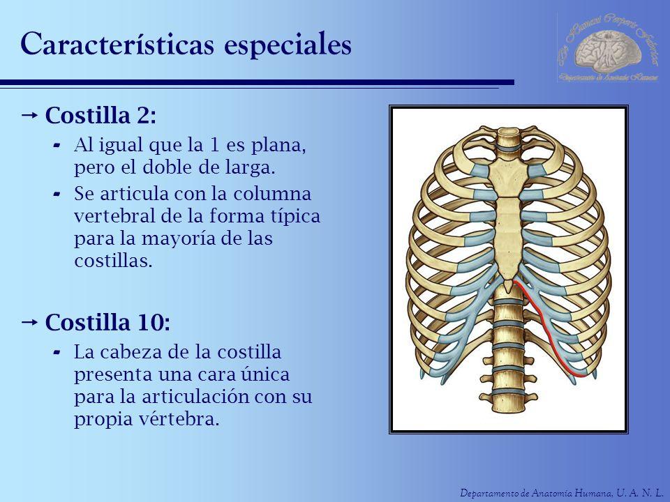 Departamento de Anatomía Humana, U. A. N. L. Características especiales Costilla 2: - Al igual que la 1 es plana, pero el doble de larga. - Se articul