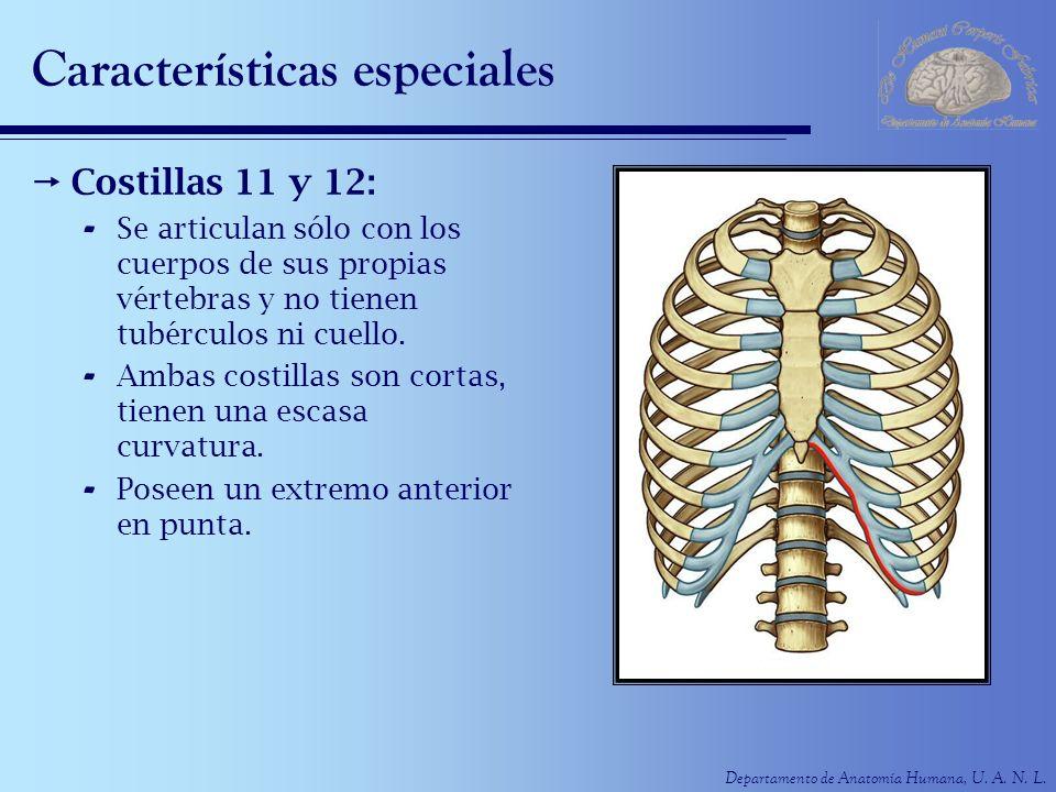 Departamento de Anatomía Humana, U. A. N. L. Características especiales Costillas 11 y 12: - Se articulan sólo con los cuerpos de sus propias vértebra
