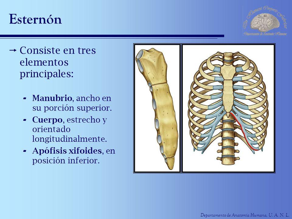 Departamento de Anatomía Humana, U. A. N. L. Esternón Consiste en tres elementos principales: - Manubrio, ancho en su porción superior. - Cuerpo, estr
