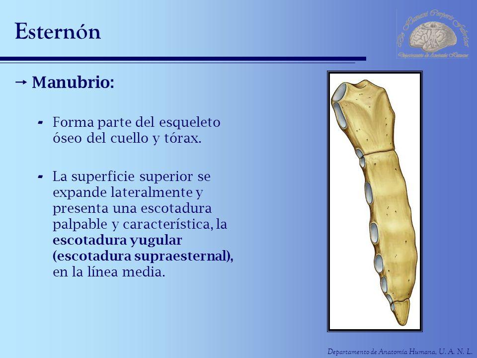 Departamento de Anatomía Humana, U. A. N. L. Esternón Manubrio: - Forma parte del esqueleto óseo del cuello y tórax. - La superficie superior se expan