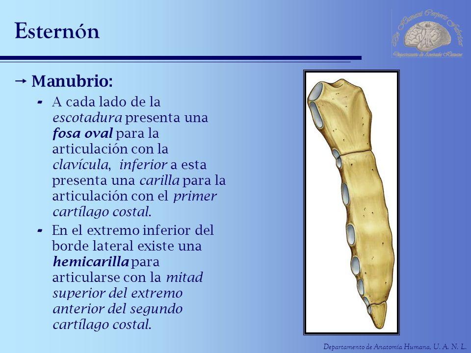 Departamento de Anatomía Humana, U. A. N. L. Esternón Manubrio: - A cada lado de la escotadura presenta una fosa oval para la articulación con la clav