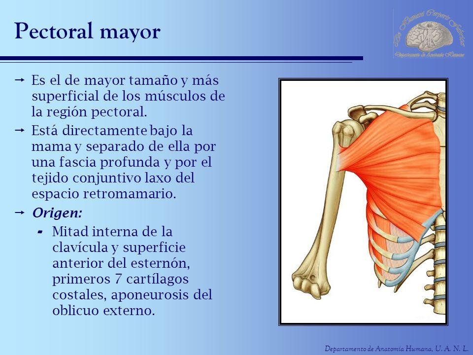 Departamento de Anatomía Humana, U. A. N. L. Pectoral mayor Es el de mayor tamaño y más superficial de los músculos de la región pectoral. Está direct