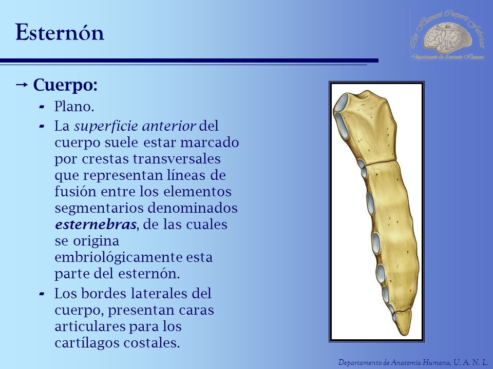 Departamento de Anatomía Humana, U. A. N. L. Esternón Cuerpo: - Plano. - La superficie anterior del cuerpo suele estar marcado por crestas transversal