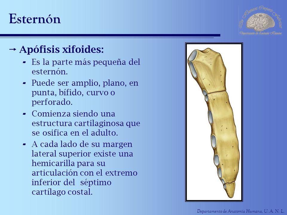 Departamento de Anatomía Humana, U. A. N. L. Esternón Apófisis xifoides: - Es la parte más pequeña del esternón. - Puede ser amplio, plano, en punta,