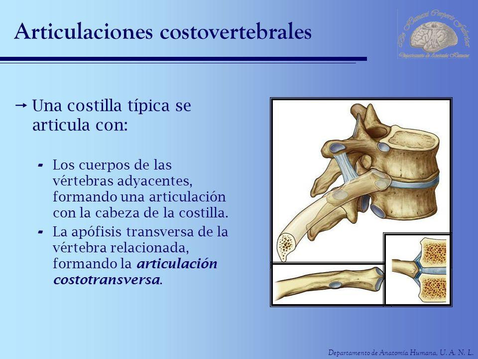 Departamento de Anatomía Humana, U. A. N. L. Articulaciones costovertebrales Una costilla típica se articula con: - Los cuerpos de las vértebras adyac