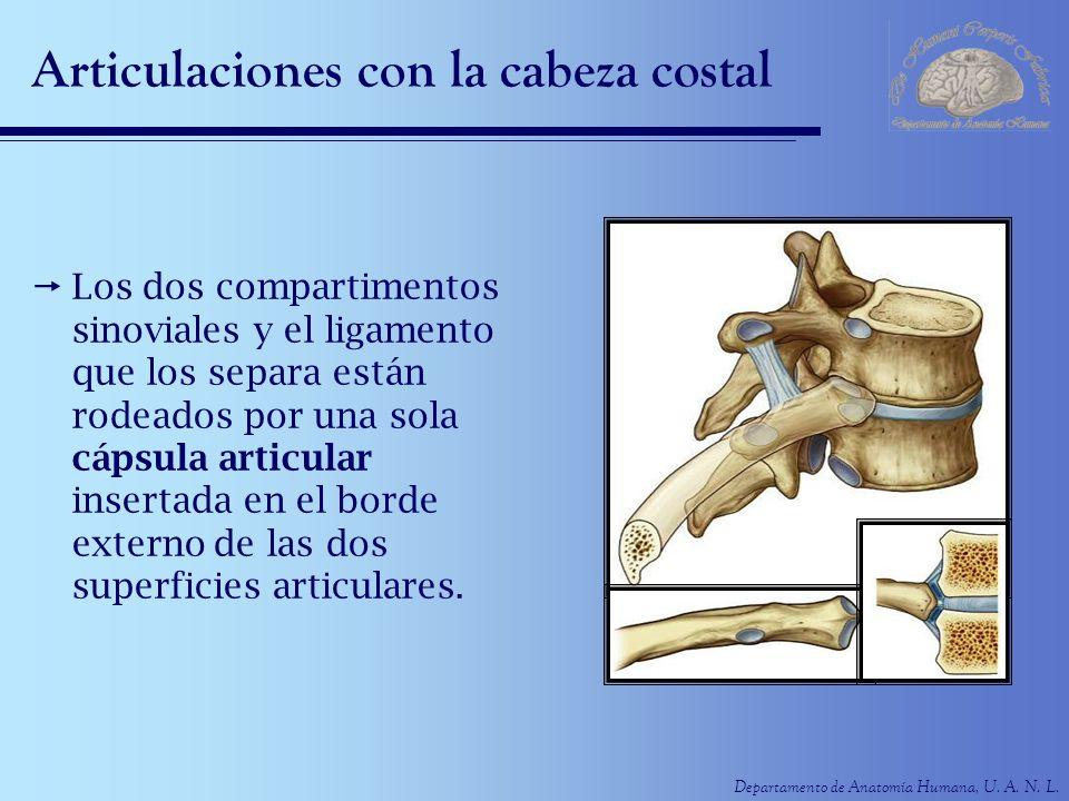 Departamento de Anatomía Humana, U. A. N. L. Articulaciones con la cabeza costal Los dos compartimentos sinoviales y el ligamento que los separa están