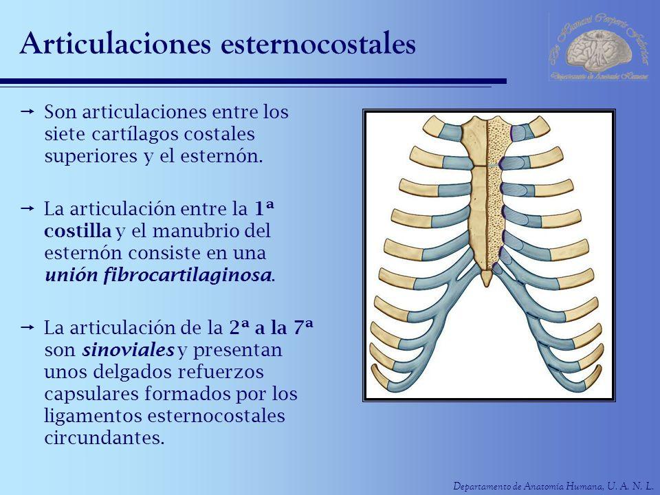 Departamento de Anatomía Humana, U. A. N. L. Articulaciones esternocostales Son articulaciones entre los siete cartílagos costales superiores y el est