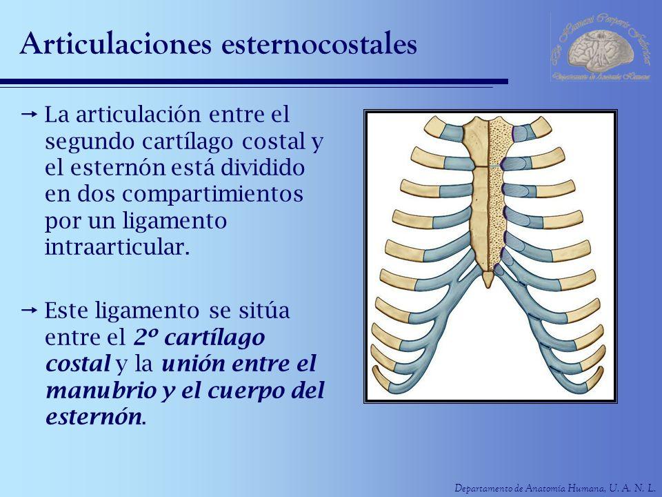 Departamento de Anatomía Humana, U. A. N. L. Articulaciones esternocostales La articulación entre el segundo cartílago costal y el esternón está divid
