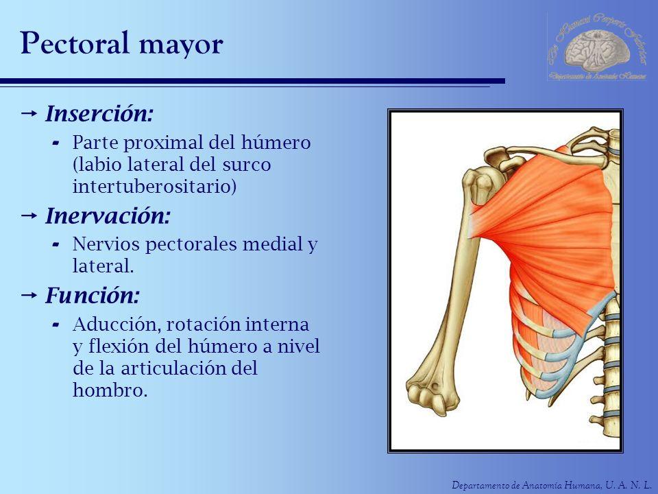 Departamento de Anatomía Humana, U. A. N. L. Pectoral mayor Inserción: - Parte proximal del húmero (labio lateral del surco intertuberositario) Inerva