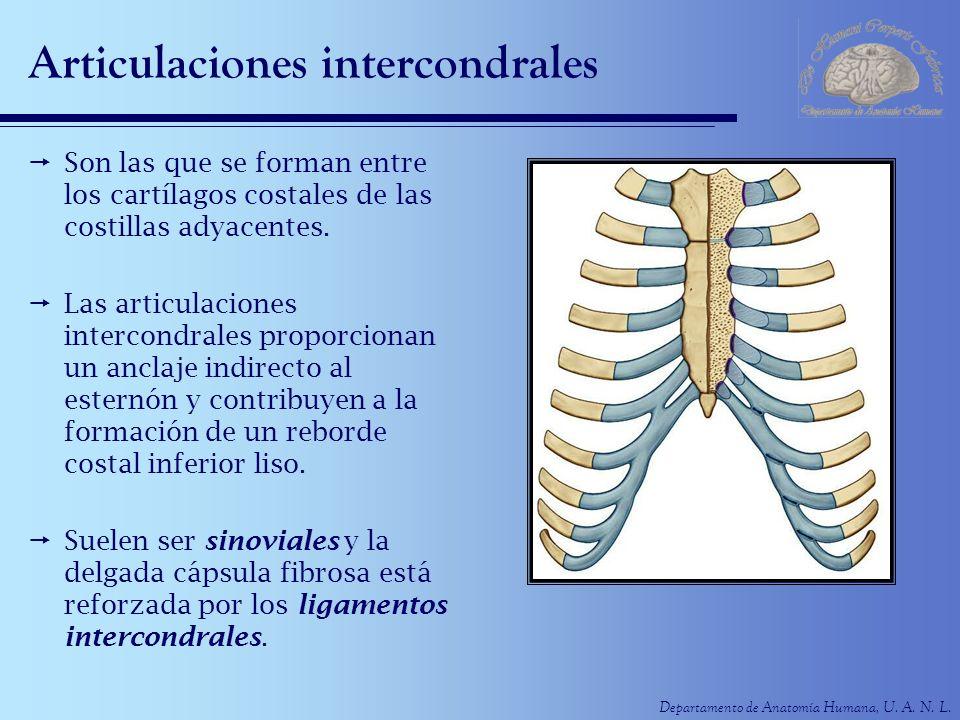 Departamento de Anatomía Humana, U. A. N. L. Articulaciones intercondrales Son las que se forman entre los cartílagos costales de las costillas adyace