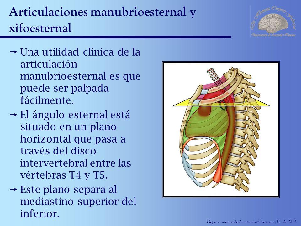 Departamento de Anatomía Humana, U. A. N. L. Articulaciones manubrioesternal y xifoesternal Una utilidad clínica de la articulación manubrioesternal e
